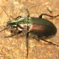 Courtesy of Alan Outen, here's one of the critters found, a beetle rejoicing in the name of Poecilus versicolor.