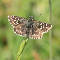 ... a few Grizzled Skippers,