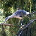 ... a young heron in the herony